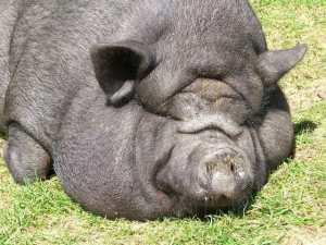 pig-1389134-640x480