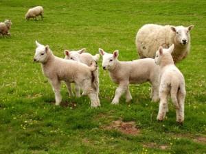 sheep-1315617-1280x960