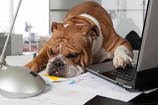English Bulldog exhausting by busy day laid his head on the table to rest
